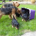 welsh-terrier-welpen-2