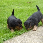 welsh-terrier-welpen-4