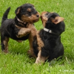 welsh-terrier-welpen-5