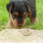 welsh-terrier-welpen-6