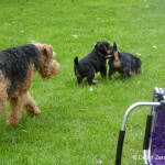 welsh-terrier-welpen-8