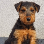 welsh-terrier-evita
