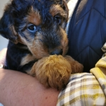 welsh-terrier-extra