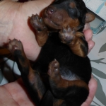 Welsh Terrier Welpe in der Hand
