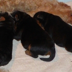 Welsh Terrier Hundebabys