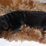 Welsh Terrier Hundekind bei der Mutter